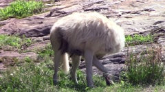 An Arctic Wolf in summer Stock Footage