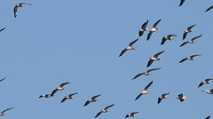 Large flock or White pelicans flying during migration Stock Footage