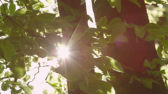 SLOW MOTION CLOSE UP: Sun shining through fluttering leaves on young trees Stock Footage