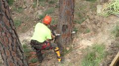 Lumberjack felling tree after making it safe - stock footage