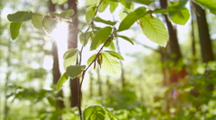 SLOW MOTION CLOSE UP: Young green leaves in deciduous forest in early spring Stock Footage