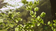 SLOW MOTION CLOSE UP: Early spring sun shining on young tree leaves in forest Stock Footage