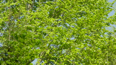 SLOW MOTION: Green leaves fluttering in lush tree canopy against the blue sky Stock Footage