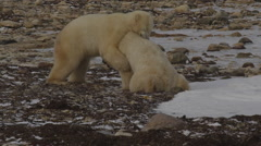 Slow motion - two bears wrestle on snowy beach and lie down Stock Footage