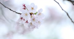 Cherry blossoms fluttering in the wind, Tokyo, Japan Stock Footage