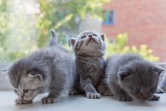 Beautiful small striped kittens on window sill. Scottish Fold breed Stock Photos