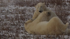 Slow motion - two polar bears with mouths locked on necks in willows Stock Footage