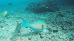 Tracking shot of a blue-chin parrotfish at isla floreana Stock Footage