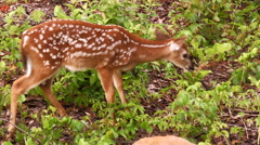 Close up fawn white tail dear zoom out mother Stock Footage