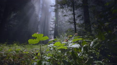 Redwood forest, sun rays  and fog, Redwood National Park, CA Stock Footage