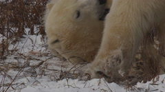 Slow motion - two polar bears chew on each other and play in snowy willows Stock Footage