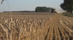 Focus change from ripe wheat plants to thresher machine. 4K Stock Footage