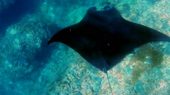 Manta Ray swims in ocean wildlife Stock Footage