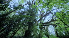 POV through deciduous rainforest, Olympic National Park, WA Stock Footage