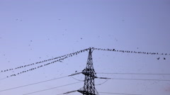 Big flock of black birds flying and sitting on electrical power lines in evening - stock footage