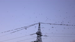 Big flock of crow birds flying and sitting on electrical power lines in evening Stock Footage