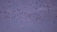 SLOW MOTION: Big flock of many black birds flying against the morning sky Arkistovideo