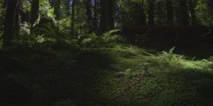 Redwood forest and ferns, Redwood National Park, California Stock Footage