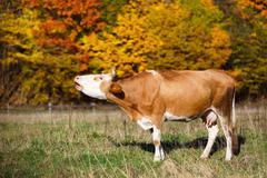 Single cow moos in field. Blazing orange maple tree highlights green pasture Stock Photos