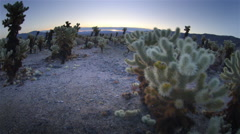 Aerial POV, through cholla cactus garden, Joshua Tree  National Park, California Stock Footage