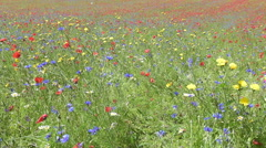 Flowering in the plain of Castelluccio, Italy Stock Footage