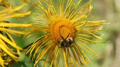 Bumblebee is on a elecampane flower Stock Footage