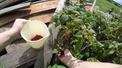 First person view picks berry in the white pitcher Stock Footage