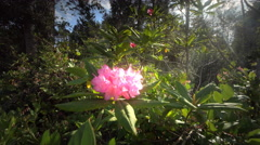 Rhododendron flower, Oregon Stock Footage