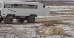 Two polar bears spar and fight in front of tour buggy full of tourists on tundra Stock Footage