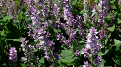 Clary sage plant in garden Stock Footage