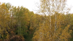 Birch tree on a background of green trees in autumn Stock Footage
