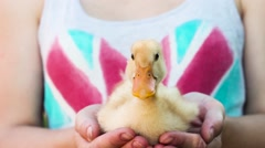 Duckling in Hand. Girl Holds Little Duckling in His Hands. Duck Quacks. Stock Footage