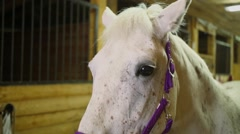 White horse muzzle with pink harness stands in stable Stock Footage
