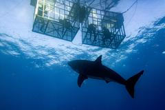 Great White shark while coming to attack you on deep blue ocean background Kuvituskuvat