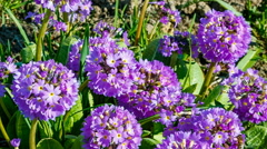 Primula denticulate, beautiful purple flowering plant growing Stock Footage