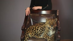 Leopard in a chair behind him stands a woman and holding a leash Stock Footage