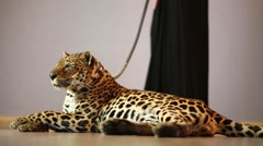 Leopard lying on the floor next to a woman in dress holding a leash Stock Footage
