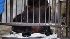 Bear rakes sawdust and lays down on bottom of the cage Stock Footage