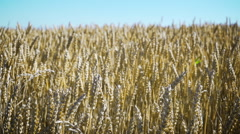 Rural landscape - wind blowing over a large cereal field - stock footage