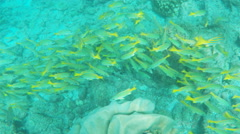 School of blue-striped snapper at isla floreana in the galapagos Stock Footage