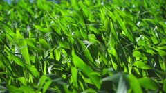 Corn plants dancing in the wind Stock Footage