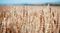 Golden wheat field perfect slow motion shot Stock Footage
