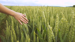 Women in red dress walking on wheat field touching wheat straw heads with hand Stock Footage
