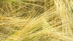 Dry Golden Wheat Ears in Wind, Close Up, Warm Evening Sunlight - stock footage