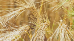 Close-up of a Isolated Ripe Wheat Straws Waving in Wind. Bronze look Stock Footage