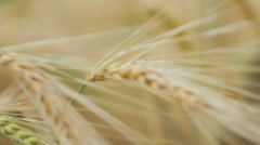 Close-up of two Ripe Wheat Straws Waving in Wind Stock Footage