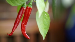 Red cayenne chili peppers, Capsicum annuum, on the plant. Stock Footage
