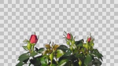 Red roses grow, bloom and die, time-lapse with alpha chanel Stock Footage