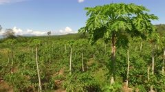 Papaya tree AERIAL in a plantation in South America, Peru Stock Footage