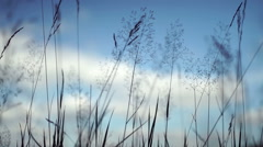 Grass stalks and seeds silhouetted against a blue sky with clouds. Stock Footage